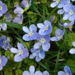 Вероника нитевидная (Veronica filiformis)