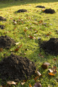 mole lawn damage(1)
