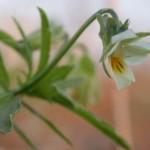 Фиалка полевая  (Viola arvensis)