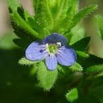 Вероника полевая (Veronica arvensis)